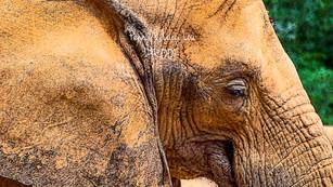 Elephant Ear 0891 edit PROOF.jpg