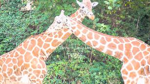 Giraffe Hug 0853 edit PROOF.jpg