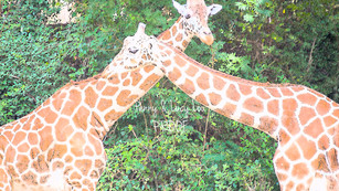 Giraffe Hug 0853 edit PROOF.jpg