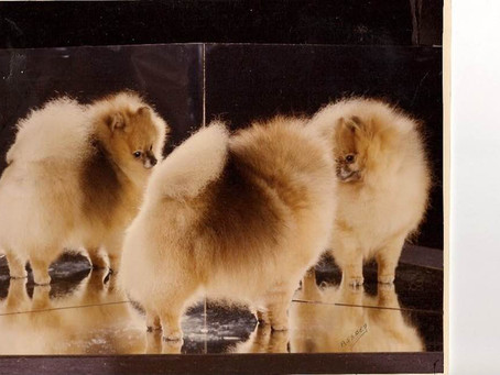 Continuing the contributions of America's great foundationPomeranians from Charlotte Creed