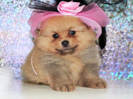 Die laufenden Kosten für einen Pomeranian