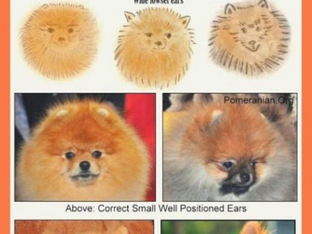 Ohren bei Zwergspitz Pomeranian