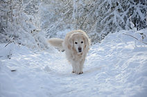 golden retriever walking in the snow