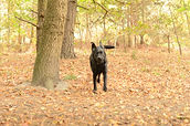 black labrador running in the woods photography