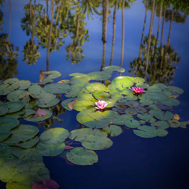 Water lily, Los Angeles