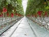 180px-Tomato_P5260299b.jpg