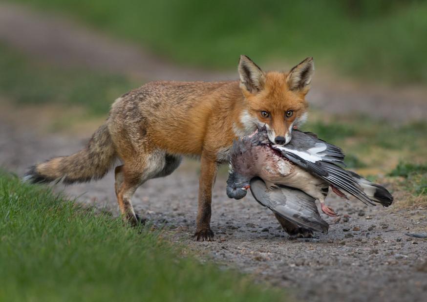 Fox with Wood pigeon 19.jpg