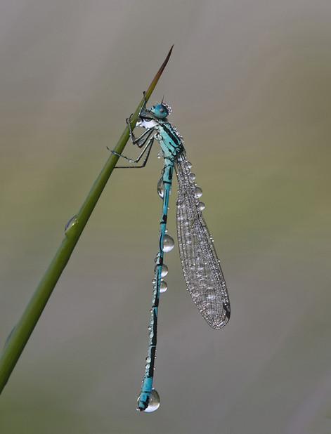 Azure damsel and dew  20.jpg