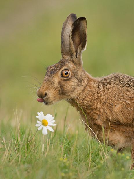 Brown hare and Ox-eye daisy 21.jpg