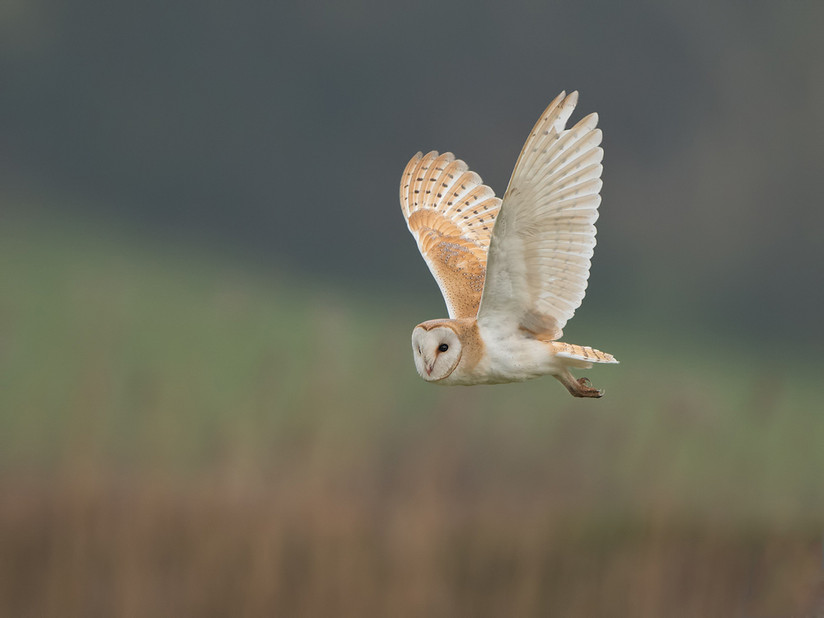 Hunting Barn owl 24.jpg