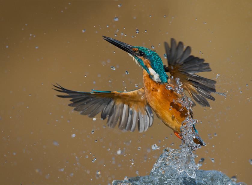 Emerging kingfisher 19.jpg