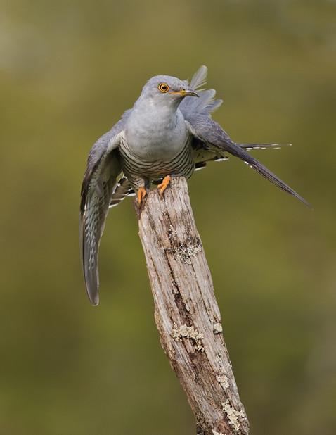 Exmoor Cuckoo displaying 23.jpg