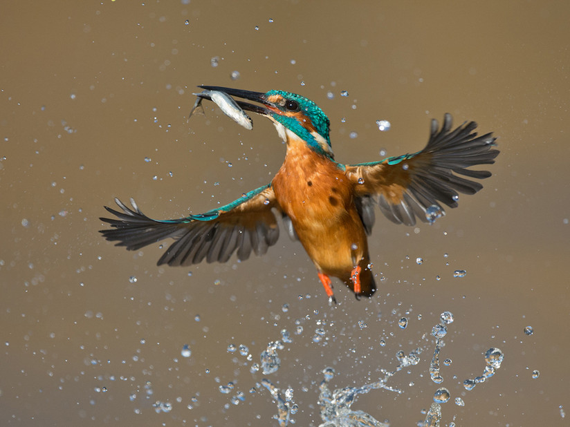 Kingfisher with Minnow 15.jpg