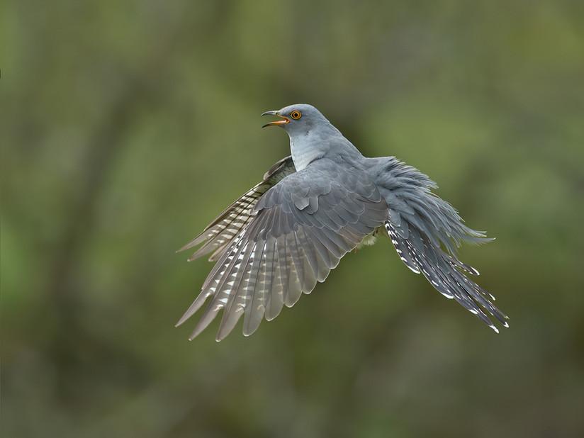Male Cuckoo coming to land 24.jpg