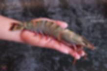 深海手臂蝦2.jpg