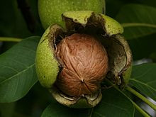 I go Nuts for Nuts! The Walnut! Juglans sounds so much more fun.