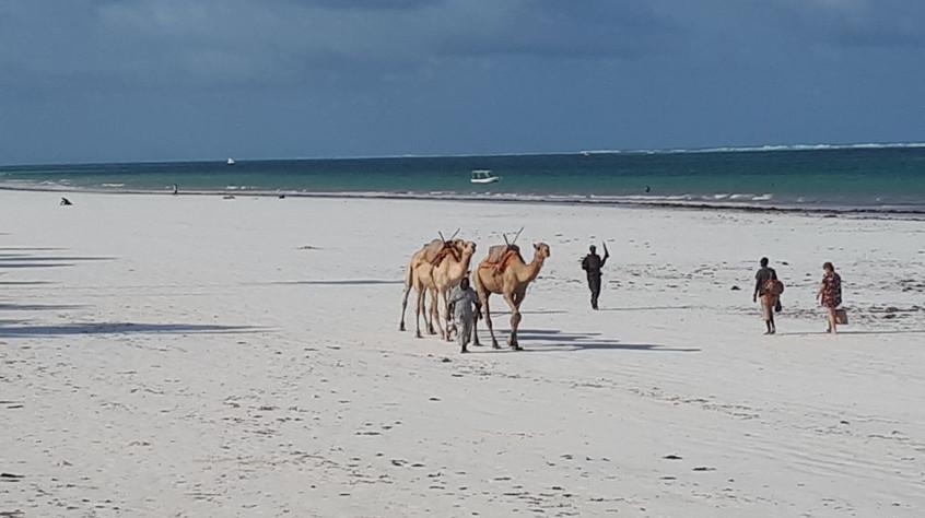 Camels meet beach.jpg