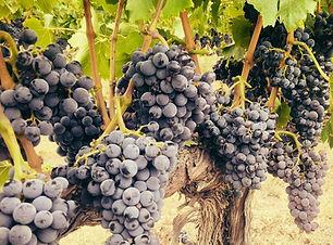 outlook vines.jpg
