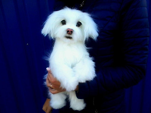 Realistic Maltese-ShihTzu Stuffed Toy Doll