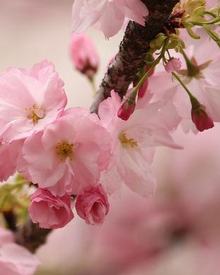 cherry-blossoms-4371785_1920.jpg