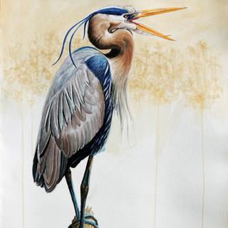 """Great Blue Heron (Ardea herodias)"""