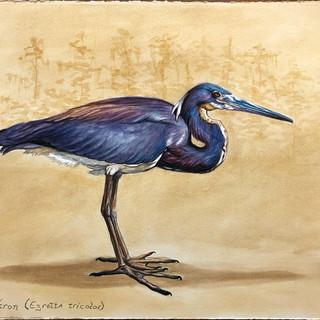 """Louisiana Heron (Egretta tricolor)"""
