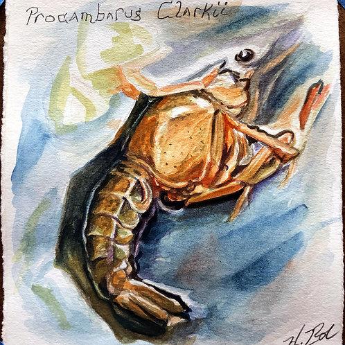 """Procambarus Clarkii"""