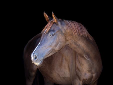 Horse anatomy - the neck