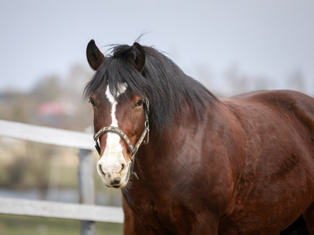 Show judges can't identify an obese horse, research says