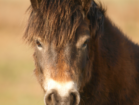 Exmoor ponies take part in important conservation study
