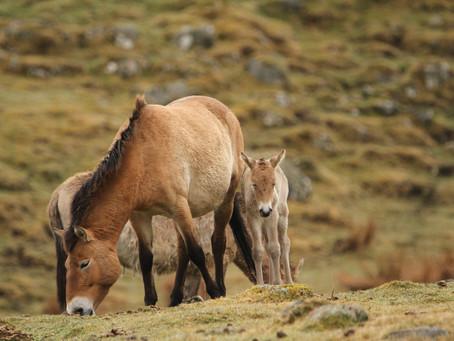 Endangered horse foals born in Wildlife Park