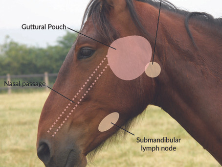 Equine strangles: how is it diagnosed?