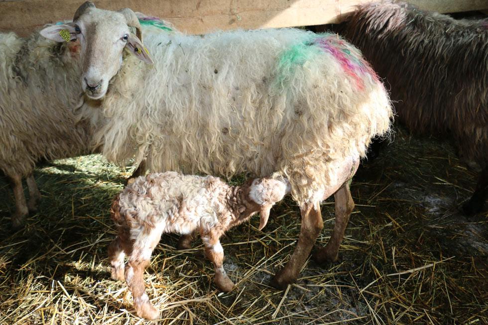 Une brebis et son agneau