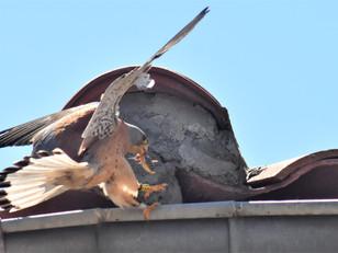 Première nidification prouvée du Faucon crécerellette dans la plaine du Roussillon.