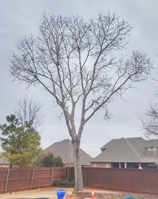 tree trimming after
