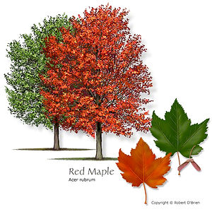Red Maple Tree from Stix & Stones Landscaping, Bowie & Haslet, TX