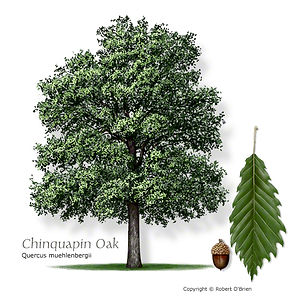Chinkapin Oak Tree from Stix & Stones Landscaping, Bowie & Haslet, TX