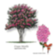 Crape Myrtle Tree from Stix & Stones Landscaping, Bowie & Haslet, TX