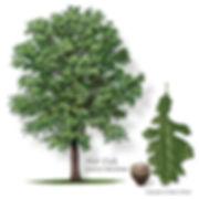 Burr Oak Tree from Stix & Stones Landscaping, Bowie & Haslet, TX