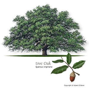 Live Oak Tree from Stix & Stones Landscaping, Bowie & Haslet, TX