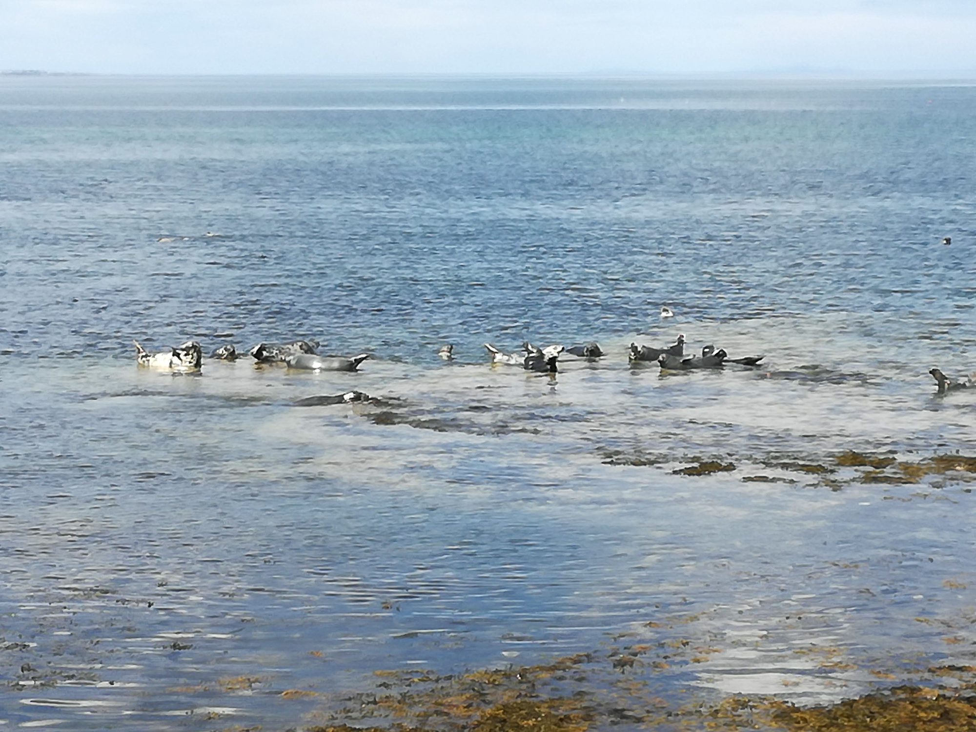 Seals near Buckie