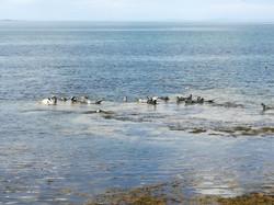 Seals near Buckie
