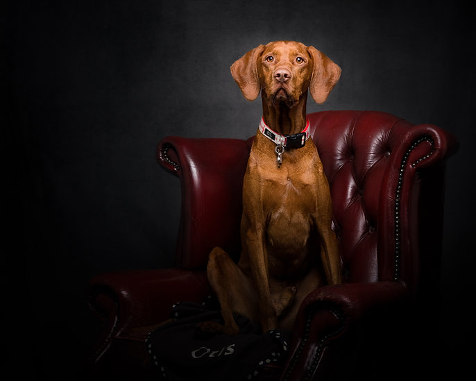 norfolk dog photographer vizsla gundog shooting studio fine art