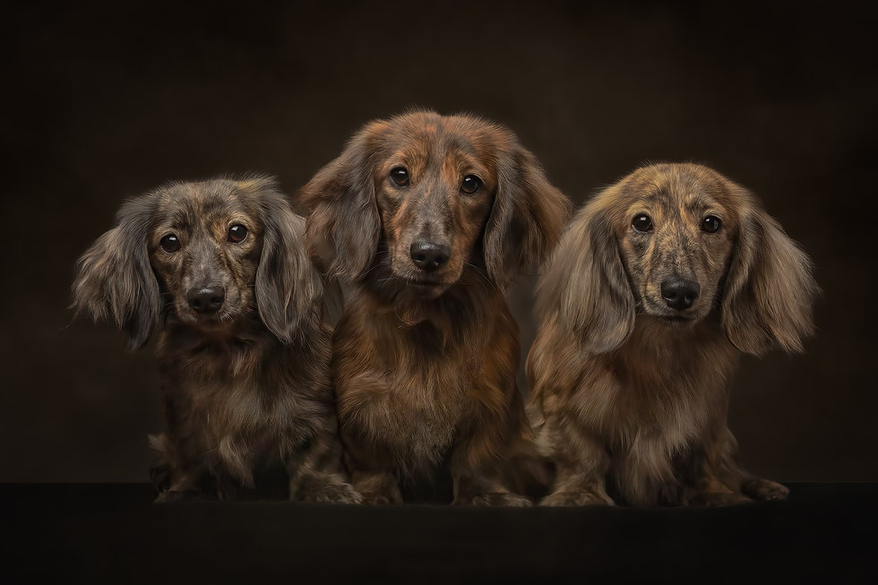 norfolk dog photographer miniature dachshund fine art