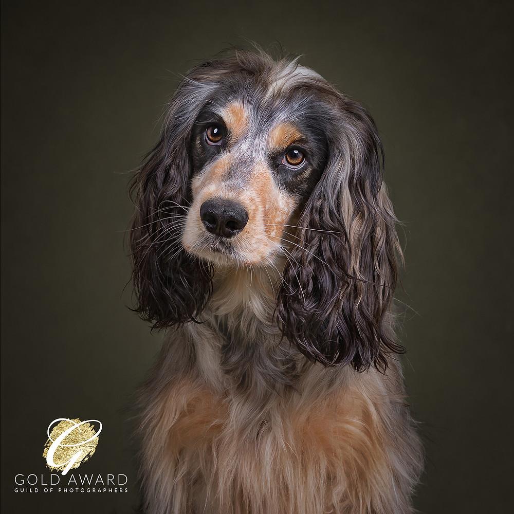 gold dog photography award cocker spaniel sundog