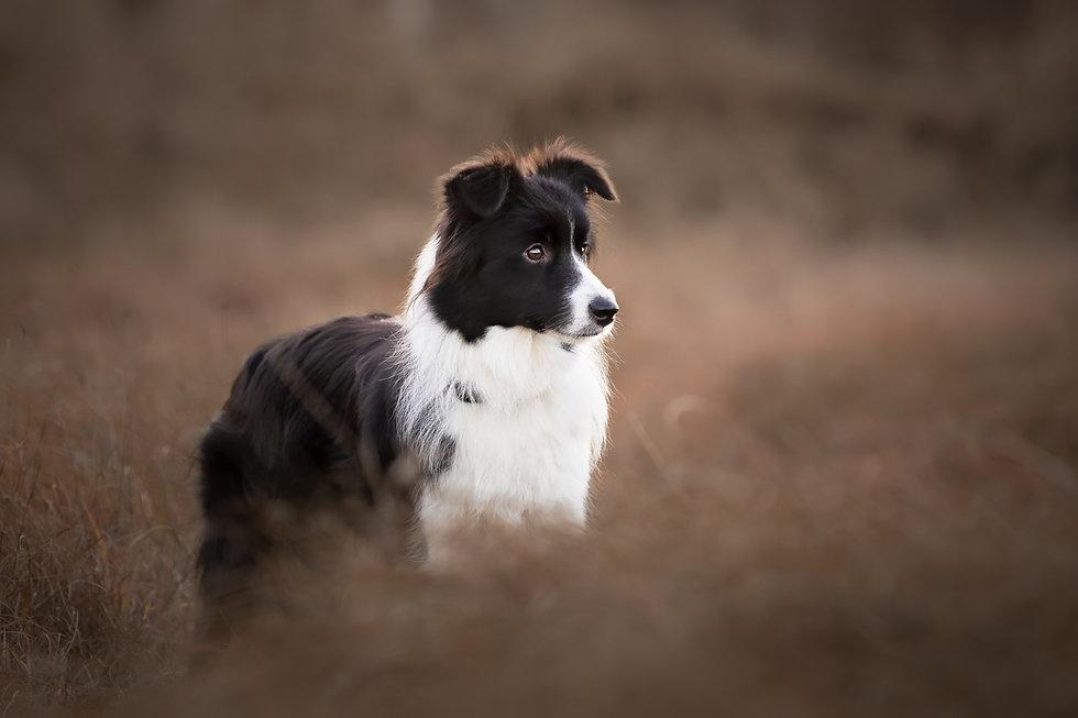 norfolk dog photographer border collie fine art moody woodland sunset image uk