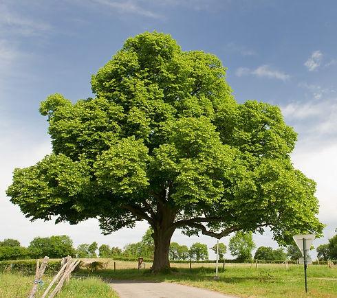 chestnut+tree.jpeg