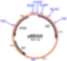 Transparent Icon for the Vectors and Constructs Database of the Blind Lab Ray Blind Vanderbilt University'