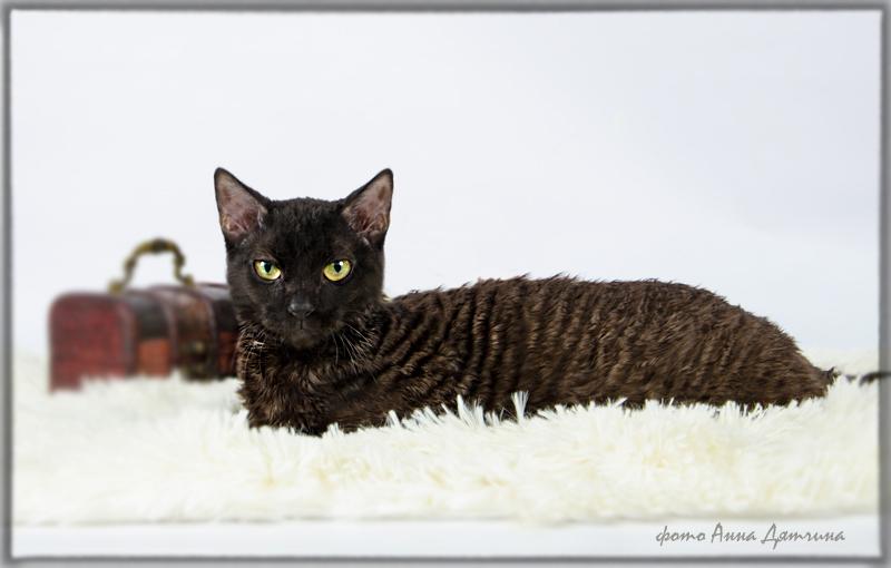 котенок Москва, купить котёнка, урал