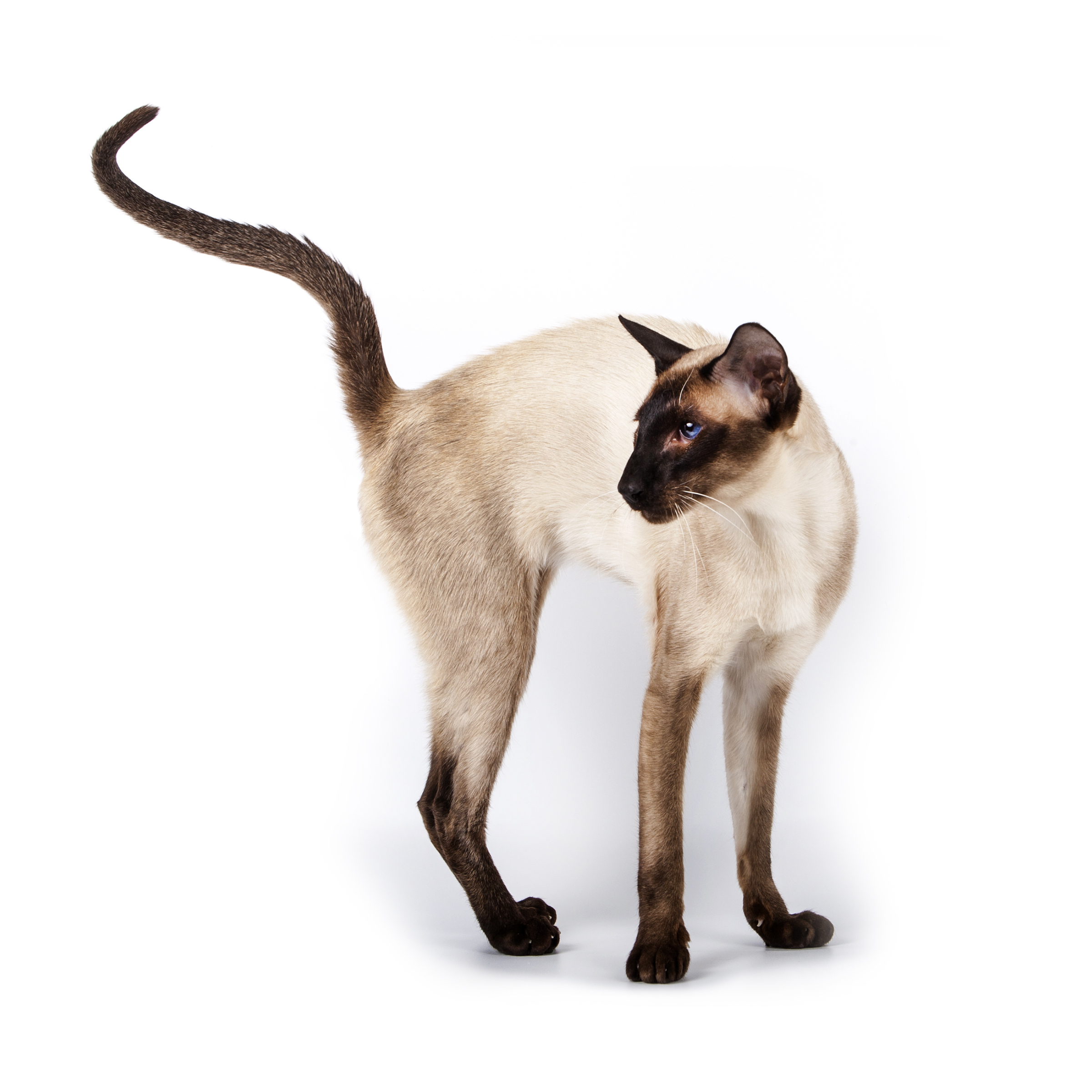 Siamese cat standing with raised tail_Is